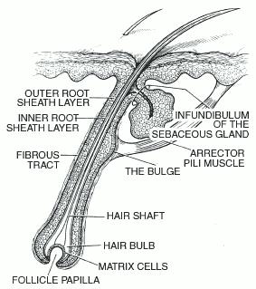 papilla