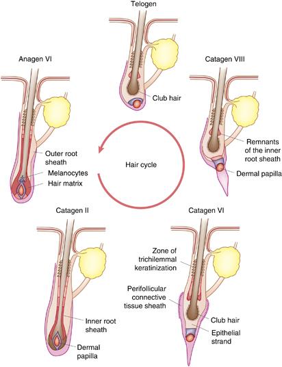 hair loss causes and hair cycle